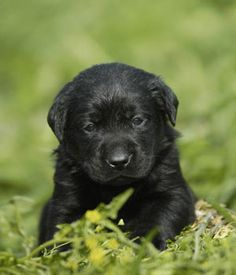 Black Labrador Retriever picture