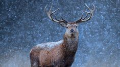 A red deer in the snow (© Getty Images) – 2016-12-24 [http://www.bing.com/search?q=red+deer&form=hpcapt&filters=HpDate:%2220161224_0800%22]