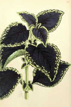 Coleus near black leaves with green margins (1867).