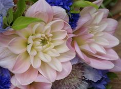 Florissimo - Flowers for weddings and events in Shropshire. DAHLIA, MAY-OCT. From Florissimo Flower Directory at https://uk.pinterest.com/ByFlorissimo/flower-directory/   Most colours, not blue