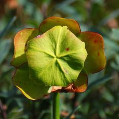 Newfoundland has a large variety of plants. Provincial flower is the Pitcher Plant, an insectivorous plant which can be found in many of Newfoundland's bogs and marshes. Names Of Birds, Pitcher Plant, Newfoundland And Labrador, Natural Scenery, Beautiful Islands, Plant Leaves, Bloom, Clay Ideas, Nature