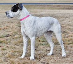 Carrie heres a boxer short haired pointer mix.