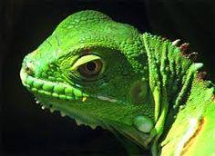 lizard head - Google Search