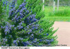 """Rosemary """"blue lagoon"""". Trying this in my containers this year_2014"""