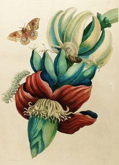 Banana Flower Print, Red Flower Art, Teal Green Wall Decor (18th Century Artist Flower Illustration To Frame No. 2)                                                                                                                                                                                 Mais