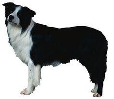 Border Collie breed  www.dogsandpuppies.co.uk