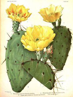 botanical illustrations - Bing images