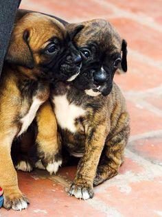 .lovely little boxers