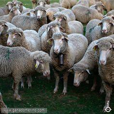 La raza merina presenta una amplia vida útil productiva y es una oveja fuerte frente a la dureza del clima y resistente a las enfermedades en general y por lo tanto con una longevidad alta. Goats, Animals, Sheep, Cattle, Strong, Animales, Animaux, Animal, Animais