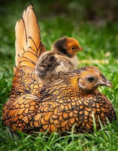 Hen & Chick