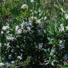 pavetta zeyheri - Google Search Trees To Plant, Shrubs, Google Search, Plants, Planters, Plant, Planting