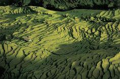 Rice field, Nepal