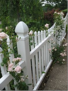 New Dawn rose on a white picket fence. Who could ask for more!?! Fence line for the beach house border
