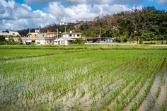 Rice fields in onna
