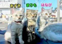 This photo is such a throwback! この写真超懐かしい! A mother cat is brest feeding to a baby cat. ママ猫がチビ猫達に母乳育児中❣️ Gifu, Scottish Fold, Baby Cats, Cat Breeds, Kittens, Cute Kittens, Cat, Small Kittens, Kitty Cats