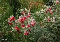 Indigofera oxytropis - Google Search Shrubs, Perennials, Google Search, Plants, Planters, Perennial, Plant, Planting