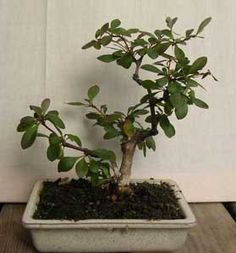 Bonsai - Agracejo