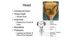 Honey bees apis mellifera - anatomy, biology, and the hive