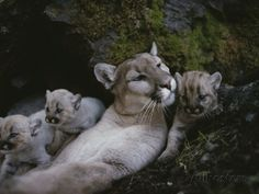 Mother Mountain Lion, Felis Concolor, Rests with her Two-Week-Olds Photographic Print by Jim And Jamie Dutcher at AllPosters.com