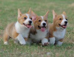 Three Adorable Brown and White Corgi Puppies