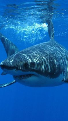 Great White Shark..