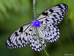 Paper Kite Butterfly Blue Porterweed,Fairchild Tropical Botanic Garden.