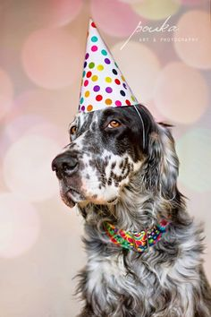 English Setter in a birthday hat. Sparrow's 2nd birthday! Pouka Art & Photography. www.pouka.com