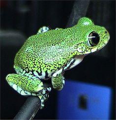 Big-eyed Tree Frog (Leptopelis vermiculatus) #TreeFrog #Frog