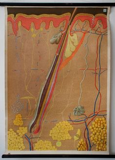 Hair Follicle Illustration from the German Hygiene Museum in Dresden