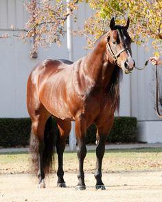 247 Best Quarter Horses Images Horses Pretty Horses Quarter Horses