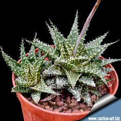 Alöe descoingsii x Aloe Haworthioides
