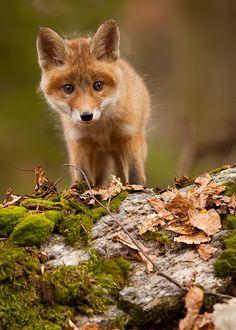 Cute Fox CubbyRobert Adamec