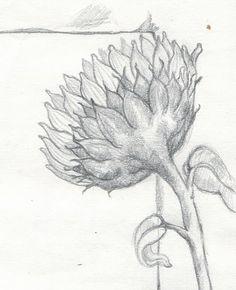 Sunflower Study © rlbussell graphite on paper