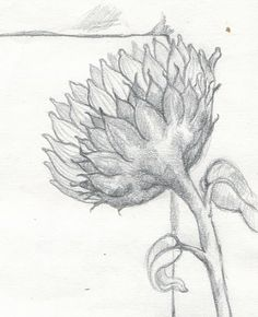 Sunflower Study © rlbussell graphite on paper