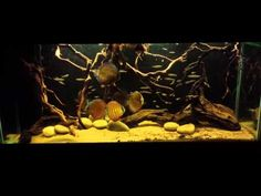 Please note this is NOT a strict biotope. 8 Lago Nhamunda Discus, Supplied by Northants Discus The tank and is 565 litres with a sump filter, just using . Diskus Aquarium, Biotope Aquarium, Aquarium Design, Discus, Cichlids, South America, Amazon, Aquascaping, Fish