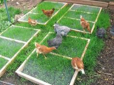 Grazing frames for chickens in small spaces. Your chickens can snack on the green tips, and the frame protects the roots so that the grass survives to grow another day. Discover How To Easily Build An Attractive And Affordable Backyard Chicken C Chicken Coup, Chicken Coop Plans, Building A Chicken Coop, Chicken Runs, Diy Chicken Coop, Chicken Salad, Chicken Run Ideas Diy, Chicken Garden, Growing Chicken Feed