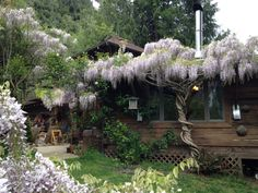 One half of my 38 year old wisteria in beautiful bloom & buzzing with bees!