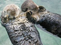Otters hold hands while they sleep so that they don't drift apart from each other....awwww!!!! =)