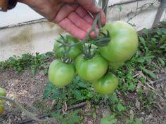 Ζεολιθικές ντομάτες, Θερμοκήπιο Σ. Γιαγλή, Φέρες 08/10/2014