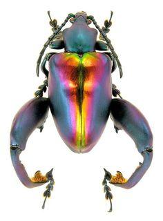 Sagra buqueti (Lesson, 1831) (Chrysomelidae) Malaysia, Perak, I.1995