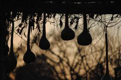 Old gourds