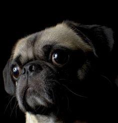 Lovable little face! Sweet Pug Portrait