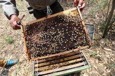 Crece la alerta por desaparición de abejas en Chihuahua | El Puntero