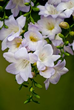 Freesia is a genus of around 16 species of flowering plants in the family Iridaceae.