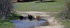 Ejemplares de Labrador Retriever Bizarría