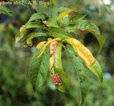 #Peach leaf curl. Use extra nitrogen fertilizer.