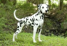 Nothing is definitely known about its origin of the Dalmatian, but they have been trace back to Dalmatia.    Dalmatian puppies are born with plain white coats and within weeks begin to get black or liver coloered spots.They are members of the non-sporting group and were  AKC recognized in 1888. They range in size from 19 to 23 inches tall at the shoulder  The Dalmatian, has an average lifespan of 12 to 14 years.