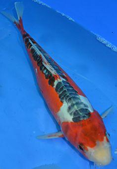 Shusui Koi Fish at Pets Like Shusui Koi, Salt Water Fish, Koi Carp, Fish Ponds, Water Life, More Pictures, Water Features, Pets, Animals