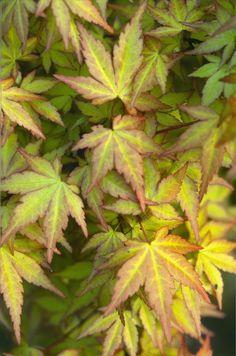 Acer palmatum 'Akane' #leaves