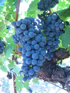 Robert Mondavi Vineyard Grapes, Oakville